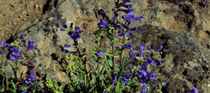 A purple penstemon humilis.