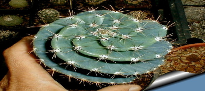 Small spiral cactus
