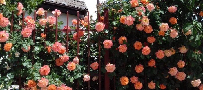 Beautiful salmon colored climbing roses