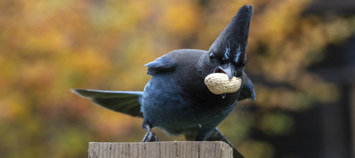 Steller's Jay on perch with Peanut