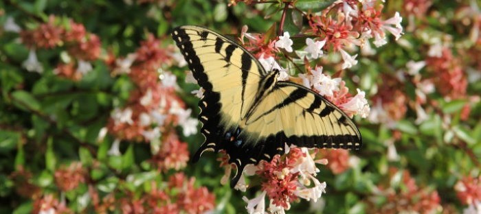 Tiger swallowtail on abelia shrub