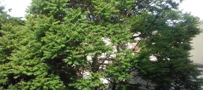 Tree of heaven growing on a city street