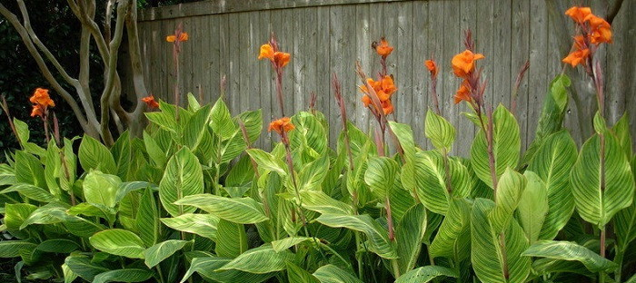 Orange flowered variegated cannas