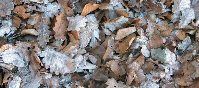Leaves frosted with ice