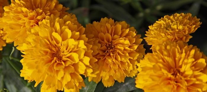 golden marigolds