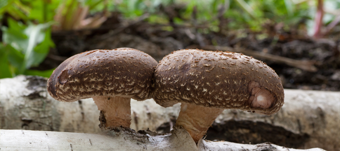 Two Brown Mushrooms Growing From White Log