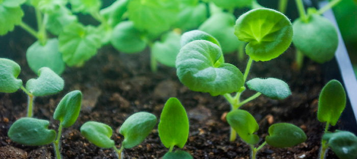 Pelargonium seedlings