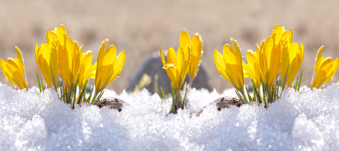 Yellow Flowers in Snow