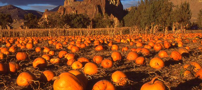 orange pumpkins ready to harvest