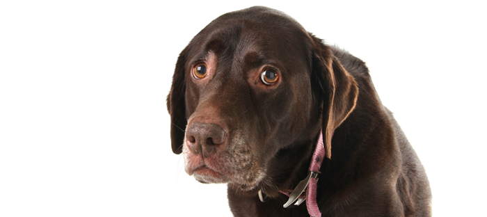 Chocolate Labrador learning truth about beggin strips