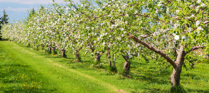Row of Blossoming Fruit Trees