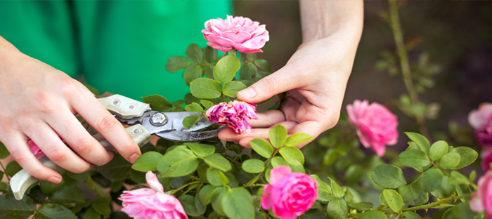 Hands pruning pink roses