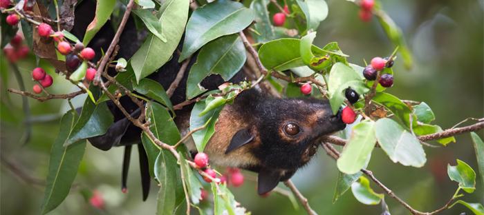 Bat hanging upside down in tree eating berries