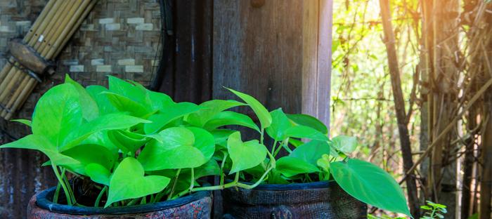 Pothos Plant in Sunny Windowsill