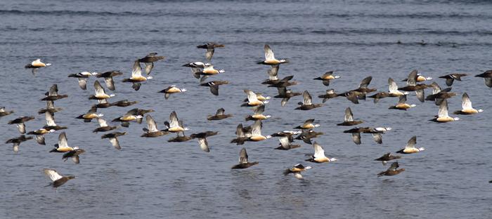 Flock of Eiders over Water