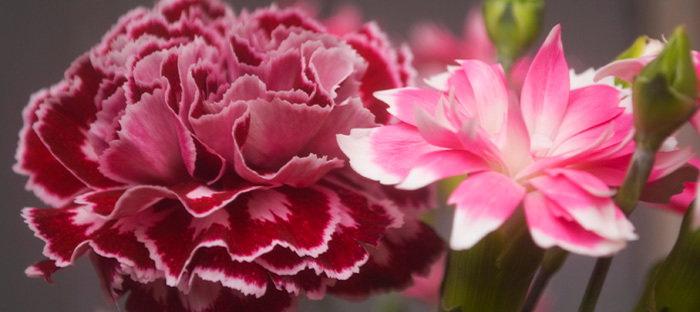 supermarket carnations