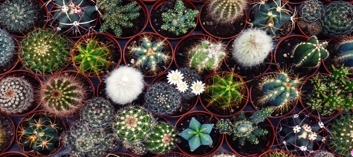 Birds eye view of diverse potted cacti