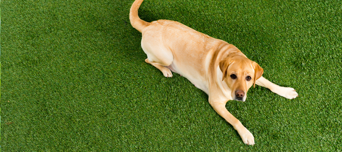 Golden Retriever on Clean Lawn Looking Up