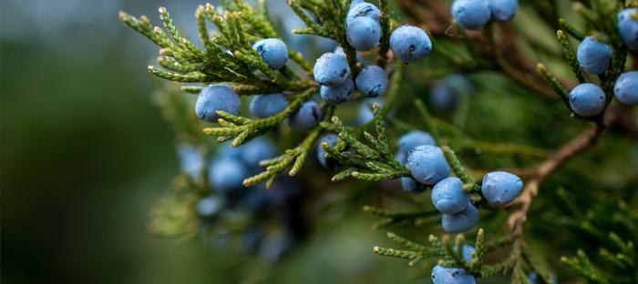 Juniper Berries on Plant