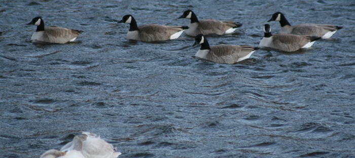 Geese and Swan on Water