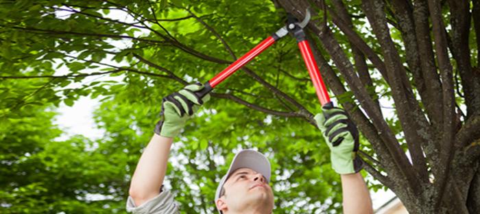 Man Cutting Tree Limb with Shears