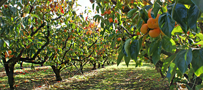 Persimmon Orchard
