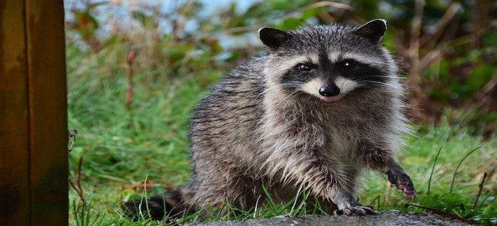 raccoon with wet feet