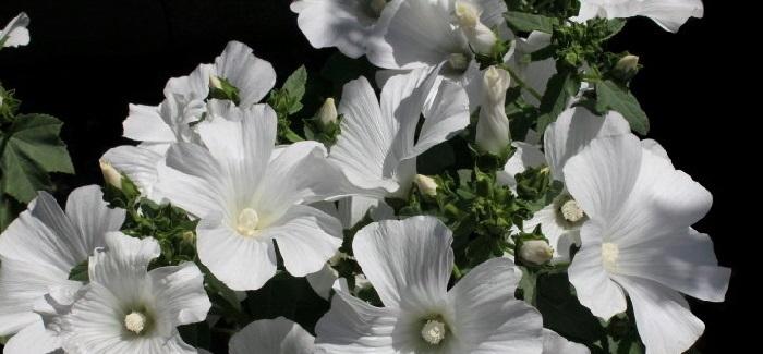 white mallow