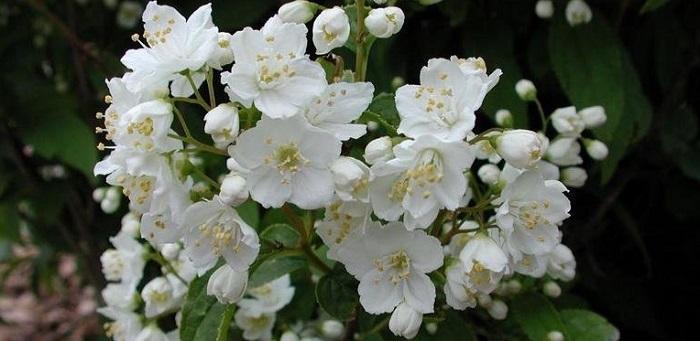 Deutzia gracilis white flowers