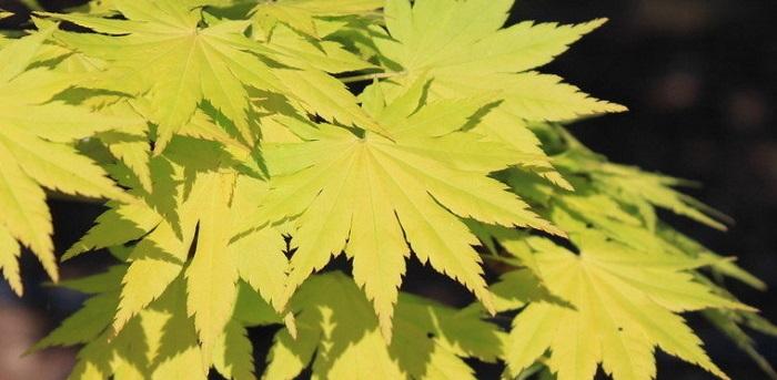 japanese maple 'jordan' plantfiles