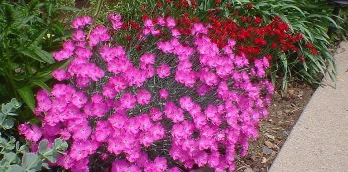 bright pink dianthus