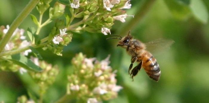 honeybee hovering by flowers