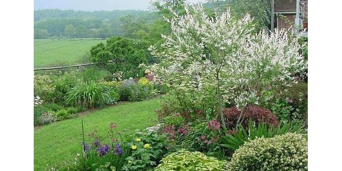 dappled willow in a garden setting