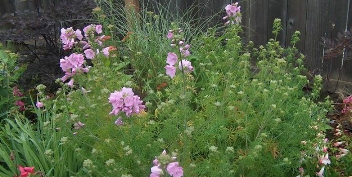 plantfiles for Malva moschata