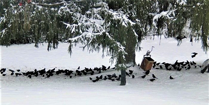murder of crows in the snow