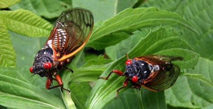 healthy cicadas