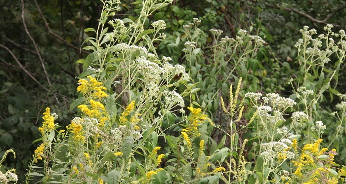 frostweed, goldenrod and other plants