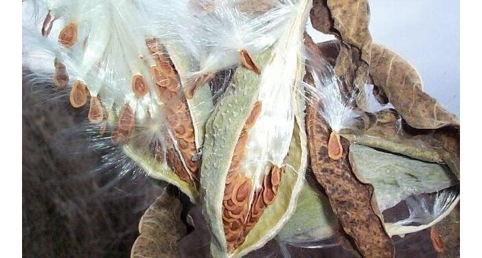 milkweed pods with seeds
