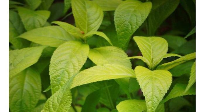 Gold Angel shrub mint