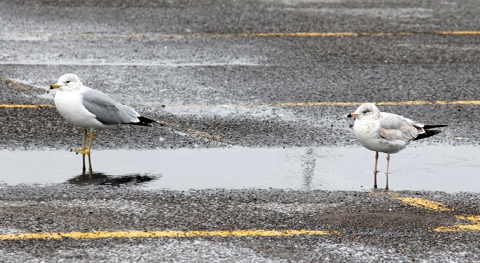 seagulls in puddle