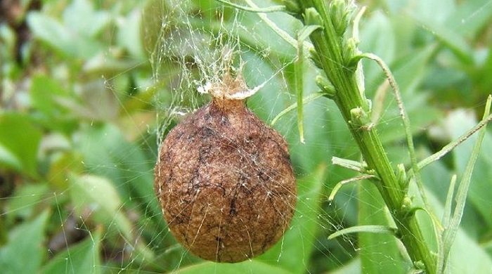 egg case of the argiope