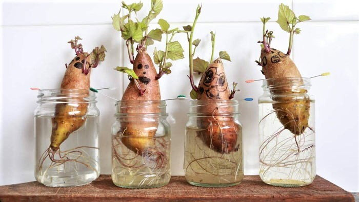 sweet potatoes growing in glass containers