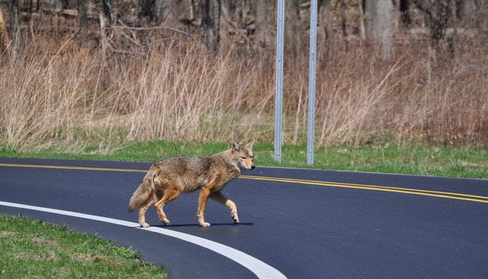 coyote crossing a road