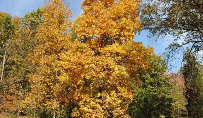 golden fall color on hickory tree