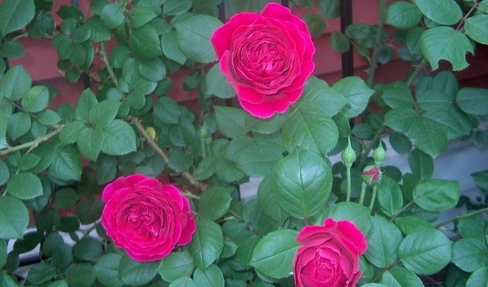 The Great Red Roses Of David Austin Dave S Garden