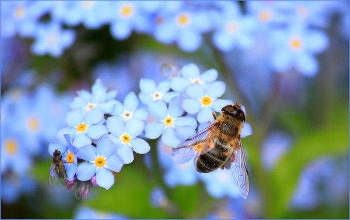 honeybee on forget me not flowers