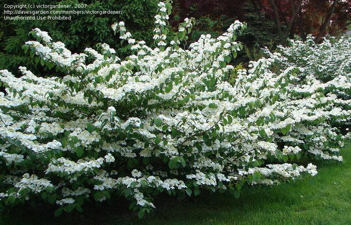 viburnum tometosum