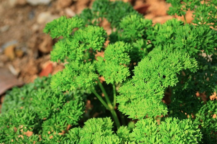 biennial parsley shrub