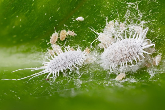 the mealybug, a common houseplant pest