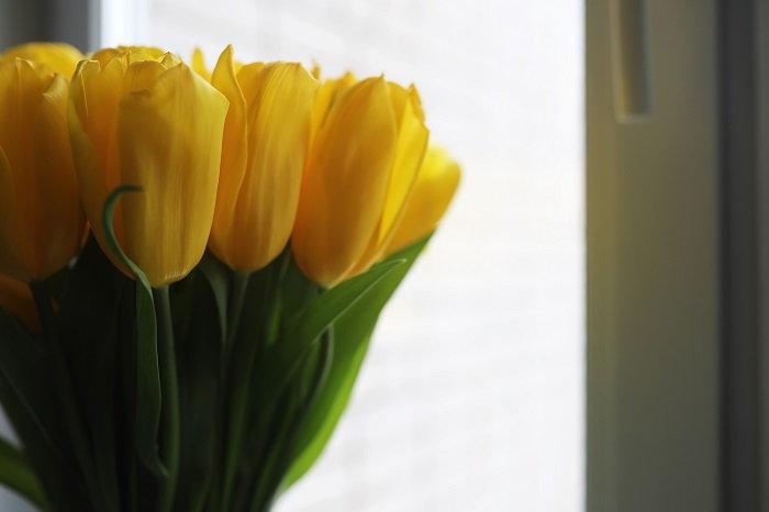 tulips growing indoors